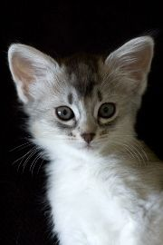 silver somali, foxy cat