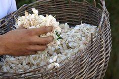Il gelsomino Sambac, coltivato nel sud dell'India, da cui si estrae la prestigiosa essenza, presente nel profumo J'Adore di Christian Dior. www.profumissimaonline.com