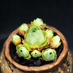 "PRE ORDER ""Selected"" Aeonium Dodrantale, Greenovia Dodrantalis, Mountain Rose, Sempervivum Dodrantale live Korean imported Succulent Plant by SucculentCafes on Etsy"