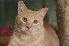 Simba a Buff Tabby Cat for Adoption
