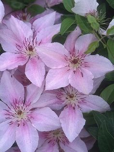 1000 images about clematis on pinterest ivy trees and. Black Bedroom Furniture Sets. Home Design Ideas