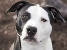 Girly is an adoptable Pit Bull Terrier Dog in Indianapolis, IN. Meet Girly. This beautiful, gentle black-and-white pet is as sweet as she can be. She's ready to go home and become someone's baby inste...