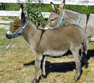 How to take care of Miniature Donkeys.