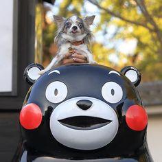 2017.9.30  くまモンとパシャリ📷 * * * #熊本城#城彩苑 #くまモン#チワワ#Chihuahua#chi#dog#dogslife#dogstagram#instadogs#多頭飼い#愛犬#わんこ#犬バカ部#ロンチー#ふわもこ部#ちわすたぐらむ#犬との暮らし#family#love#kawaii#大好き#❤️#🐶#west_dog_japan