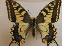 (3.-9.lk) Tunnistatko Suomen luonnossa esiintyvät perhoslajit?