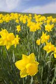 Every spring, my mom and brother, Guy, and I would buy Daffodils and fresh asparagus to celebrate spring
