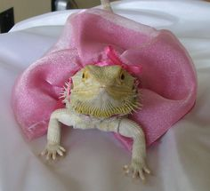 Image result for bearded dragon wearing a dress