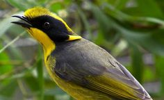The Helmeted Honeyeater, Lichenostomus melanops cassidix, is Critically Endangered.  There are currently three small semi-wild populations established in remnant streamside swamp forest to the east of Melbourne.  Zoos Victoria has been involved in the captive breeding of Helmeted Honeyeaters since the Recovery Program began in 1989.  This commitment continues today.