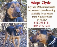 Adopt Clyde a 6 year old Doberman Pinscher / Hound mix who was rescued from a hoarding situation in New York. Available for adoption from Wayside Waifs animal shelter in Kansas City, MO. Animal ID# 24721237. Call 816-761-8151