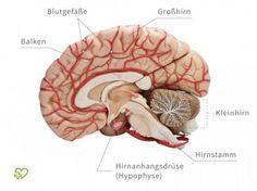 Menschliches Gehirn in der Seitansicht