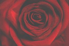 Macro Photography of Red Rose  Free Stock Photo