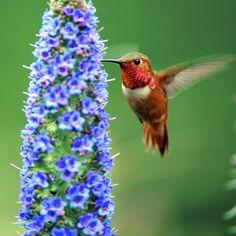 Re: Hummer (danny pe beautiful amazing Hummingbird Wallpaper, Hummingbird Flowers, Hummingbird Tattoo, Owl Bird, Pet Birds, World Photography, Amazing Photography, Awsome Pictures, Beautiful Pictures