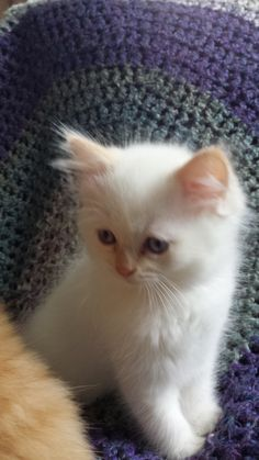 Flame point boy Ragamuffin Cat, Cats And Kittens, Animals, Animales, Animaux, Animais, Ragamuffin, Cats, Animal