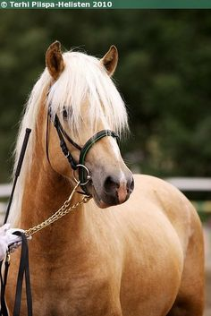 Finnhorse colt Preussi Tom Of Finland, Mane N Tail, Wild Spirit, Iron Age, Draft Horses, Horse Pictures, Palomino, Horse Breeds, Beautiful Horses