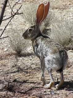 We would often see jack rabbits growing up in southern California...