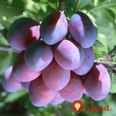 Learn how to grow Plums Tree in pots.➜ Growing Plums in containers allow this big, sweet and juicy fruit to grow in smallest of spaces. Plum Seed, Summer House Garden, Fruit Seeds, Colorful Fruit, Potted Trees, Fruits And Vegetables, Garden Tools, Orchids, Roots
