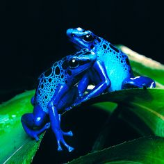 two beautiful blue frogs