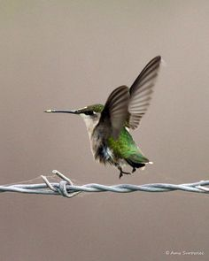 An amazing shot of a hummingbird resting on a barbed wire fence! The photographer thought it was a bumblebee at first and was so excited to get closer and realize it was a hummingbird.