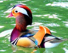 Mandarin Wood Duck - Cross Stitch Chart
