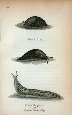 Black Slug; Limax Maximus or Spotted Brown Slug. (1809). Image ID: t000809
