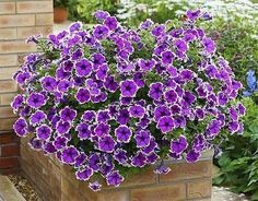 Picturesque and colorful petunias create gorgeous centerpieces for garden design and yard landscaping Succulent Centerpieces, Succulent Pots, Centerpiece Ideas, Flower Garden Design, Vertical Garden Design, Landscaping With Rocks, Yard Landscaping, Petunia Hanging Baskets, Beautiful Gardens