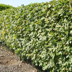 Field maple hedge / Veldesdoorn haag (Acer campestre)