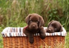 Chocolate lab puppies in basket, aren't they cute?