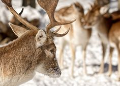 """Pensive ❖ Pensif - Fallow Deer in winter /  Daim en hiver  What do animals think without language? A question I often ask myself. What do you think ?  ❖Thank you kindly for your visits and comments.  ❖ Merci de vos visites et commentaires.   ❖ You can also see some of my work on <a href=""""https://www.flickr.com/photos/chizuka/"""">flickr</a>❖"""