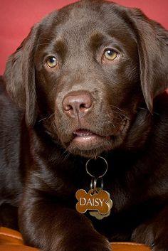 Daisy ~ chocolate lab puppy ♡ Pet photography | Dog | Labrador Retriever | Portrait