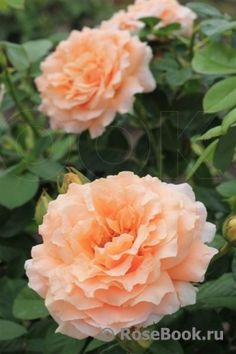 Beautiful Roses, Red Roses, Purple, Pink, Glow, Garden, Plants, Lord Byron, Twilight