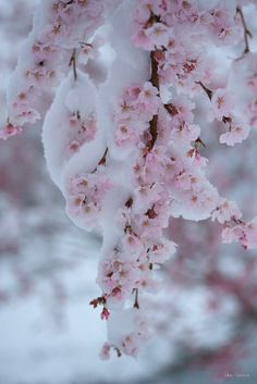 This a picture of a cherry blossom in the snow. This links into my theme of 'green' because in this picture the cherry blossom flowers are exactly the same as they are in other seasons but the only thing different is that there is snow on the plant. I Love Winter, Winter Time, Winter Magic, Winter Beauty, Winter Scenes, Winter Garden, Cherry Blossoms, Winter Christmas, Pink Christmas