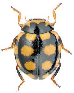Coccinula quatuordecimpustulata sinensis Wse