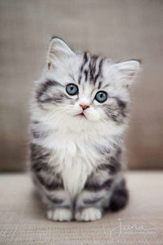 Cat love 🧡🧡🧡 cuddly cats - Cats and kittens - cute kitten - baby cat - beautiful cats - cat too cute # chatmart - ChatJadore 💛/Thème Chats - - Amour de chat 🧡🧡🧡 chats calin – Chats et chatons- chaton mignon -bébé chat -beaux chats- chat trop mignon Cute Baby Cats, Cute Cats And Kittens, Cute Baby Animals, Funny Animals, Adorable Kittens, Ragdoll Kittens, Tabby Cats, Baby Kitty, Siamese Cats