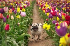 Help support Help the Famous Pug in the Tulips!.
