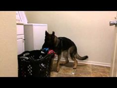 Considerate German Shepherd Lends A Helping Paw With The Laundry - BarkPost