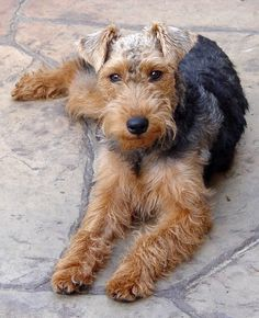 Shadow - the Welsh Terrier Welsh Terrier, Fox Terriers, Terrier Breeds, Airedale Terrier, Small Dog Breeds, Small Breed, Companion Dog, Kinds Of Dogs, Dog Rules