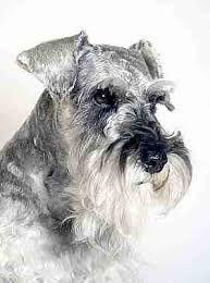 Bingo Boy what a Gorgeous mini Schnauzer*💙* Mini Schnauzer Puppies, Schnauzer Puppy, Miniature Schnauzer, Standard Schnauzer, Love Pet, I Love Dogs, Cute Dogs, Schnauzers, Dog Portraits