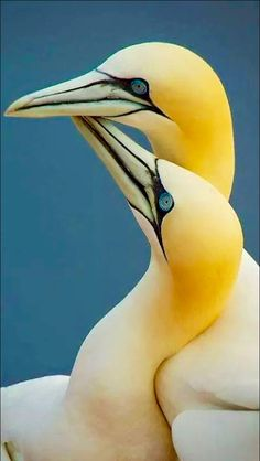 Gannets are seabirds comprising the genus Morus, in the family Sulidae, closely related to boobies. They have a maximum lifespan of up to 35 years.