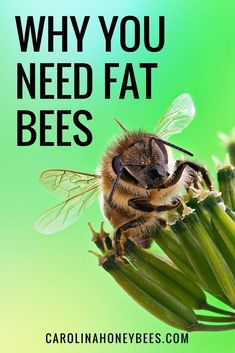 Winter Bees-Why Beekeepers Love Them Winter bees are different than regular honey bees born in the Summer. Find out why you need fat Winter Bees.Winter bees are different than regular honey bees born in the Summer. Find out why you need fat Winter Bees. How To Start Beekeeping, Beekeeping For Beginners, Bee Facts, Bee Hive Plans, Bee Supplies, Raising Bees, Backyard Beekeeping, Bee Friendly, Annual Plants
