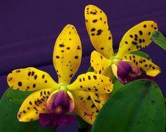 Orchidée Cattleya Jungle Gem ... ( Photo de : The World of Orchids )