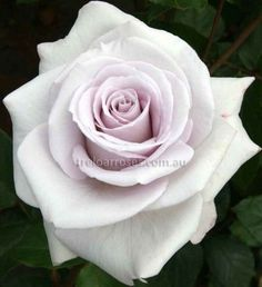 Stainless Steel :- A rose of classic show form in soft lilac with a strong perfume.
