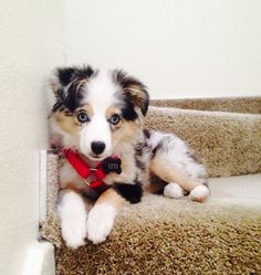 Australian Shepherd Pup ~ Classic Look Cute Puppies, Cute Dogs, Dogs And Puppies, Doggies, New Puppy, Puppy Love, Baby Animals, Cute Animals, Puppy Stages