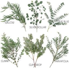 Types of Eucalyptus