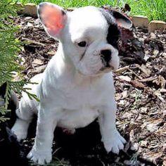 I need a French bulldog