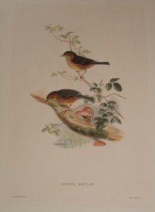 """song birds - 2italian contemp hand coloured engraving 14 x 21"""" $210"""