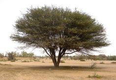 Acacia gerrardii (Red thorn)- Warthog Lodge