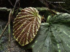 Begonia from Sarawak, by Michael Lo