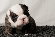 Awesomely cute brindle bulldog baby. how funny lol