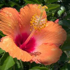 Hibiscus Flower -- orange and pink, my favorite color combination for hibiscus flowers.