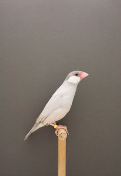 Luke Stephenson, The Incomplete Dictionary of Show Birds. Java Sparrow #3